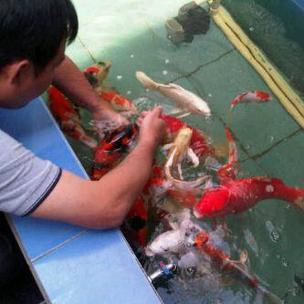 Cara Pengobatan Ikan Koi Dengan Garam Solusi Kolam