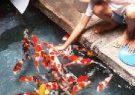 Tips Ikan KOI Jinak dan Makan Dari Tangan