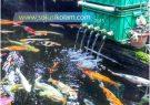 5 Tips Cara Memelihara Ikan Koi – Terbukti Berhasil